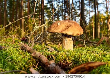 big porcini mushroom in autumn moss Stock photo © romvo