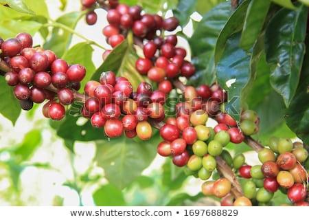 コーヒー豆 幹 ベトナム 農園 食品 コーヒー ストックフォト © galitskaya