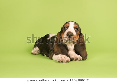 Adorable sabueso perro ojo fondo Foto stock © vauvau