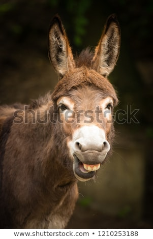 Stock photo: Funny donkey