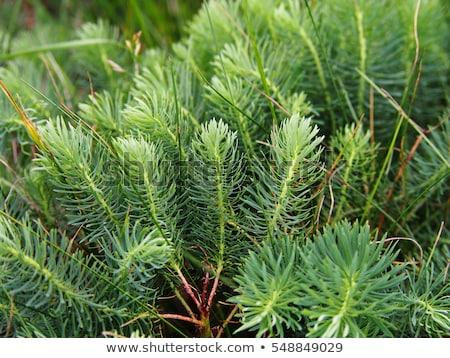 Cypress spurge (Euphorbia cyparissias) Stock photo © rbiedermann
