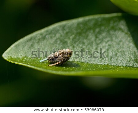 Stock photo: Issus coleoptratus
