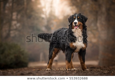 Berneński pies pasterski szczęśliwy posiedzenia psa górskich Zdjęcia stock © lovleah