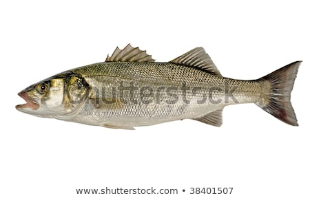 Freshly caught sea bass