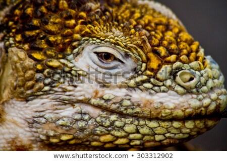 Closeup of a Galapagos land iguana Stock photo © sarahdoow