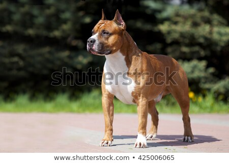 The portrait of American Staffordshire Terrier Stock photo © CaptureLight
