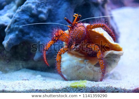 Hermit crab under water Stock photo © Arrxxx