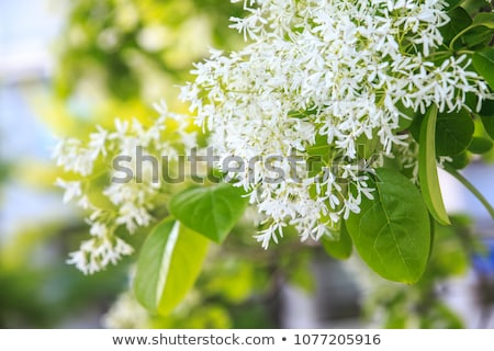 White, fleecy blooms  hang on the branches of fringe tree Stock photo © alex_grichenko