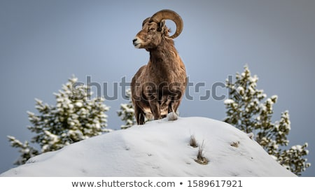 Bighorn in Yellowstone Stock photo © emattil