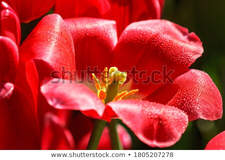 closeup of red tulips with pile stock photo © oleksandro