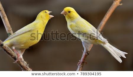 Singing Canary Stock photo © fouroaks