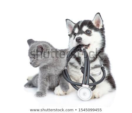 ストックフォト: 医師 · 英国の · 猫 · 白 · 表 · 手