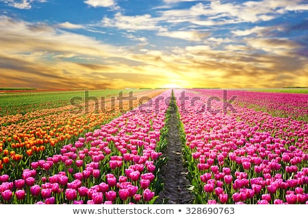 beautiful blooming tulips field in spring stock photo © moravska