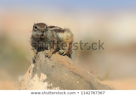 Barbary ground squirrel (atlantoxerus getulus) Stock photo © chris2766