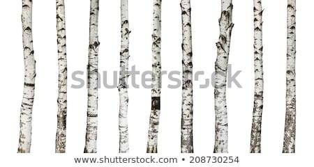 Brzozowy drzewo zielone oddziału wiosną Zdjęcia stock © brux