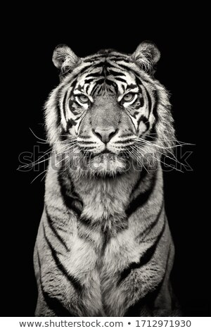 White Tiger at black background Stock photo © ankarb