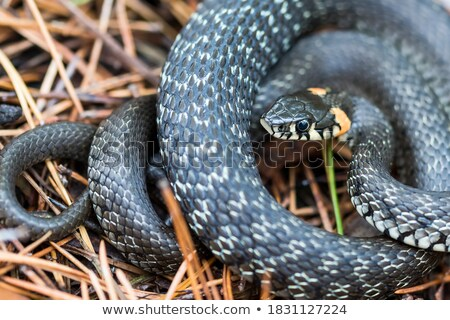 Grass snake in natural environment Stock photo © blasbike