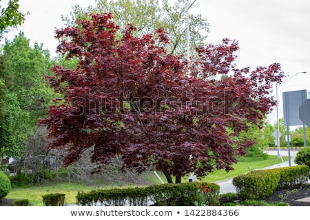 A bloodgood Japanese maple plant Stock photo © bluering