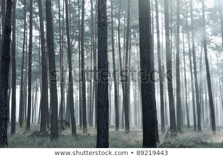 Stock photo: Mystic forest, sun rays entering trough the fog in the morning