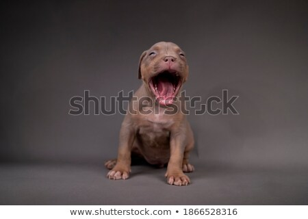 Bulldog sitting in  a gray photo studio Stock photo © vauvau