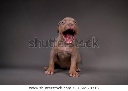 Bulldog sitting in  a gray photo studio stock photo © vauvau