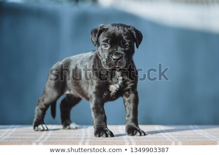 Beautiful puppy Cane Corso lying in a black photo background Stock photo © vauvau