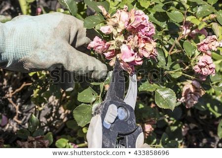 バラ 植木屋 花 バラ 緑 葉 ストックフォト © icemanj