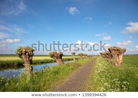 ива природы Голландии используемый производства древесины Сток-фото © compuinfoto