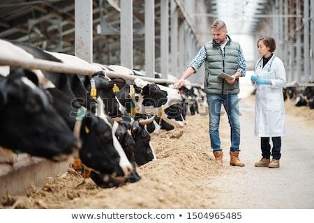 inekler · kararlı · siyah · beyaz · yeme · saman · siyah - stok fotoğraf © freeprod