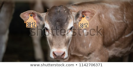 portrait of bazadaise cow and calf on a farm stock photo © freeprod