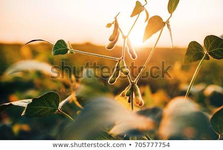 soybean field harvesting stock photo © simazoran