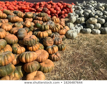 Halloween Pumpkins in market in a large pile Stock photo © dash