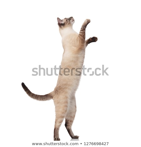 side view of lovely burmese cat jumping on back legs Stock photo © feedough