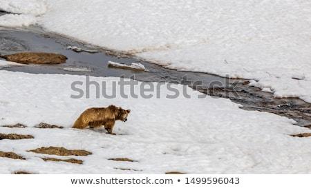 big Himalayan brown bear Stock photo © artush