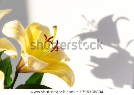 Trillend Geel lelie zomer tuin bloem Stockfoto © sarahdoow