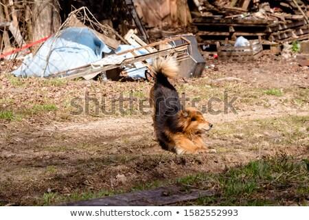 huncut · kutya · francia · bulldog · hülye · veszély - stock fotó © galitskaya