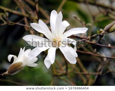 star magnolia stock photo © thp