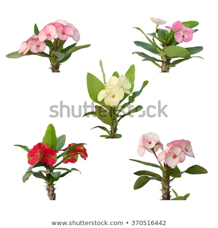 Isolated christ thorn flower Stock photo © manfredxy