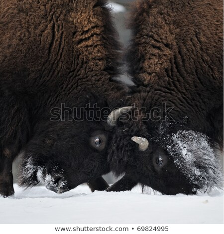 Two wild buffalos fights Stock photo © joyr