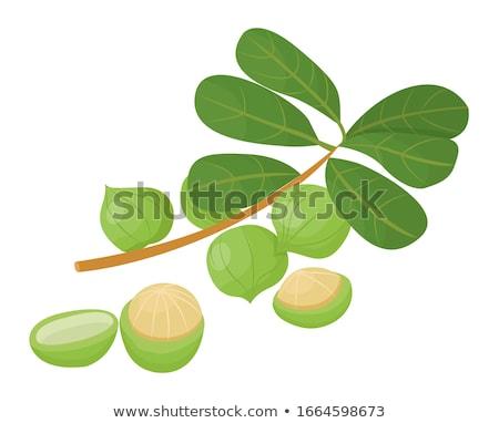 Noz verde núcleo dentro concha isolado Foto stock © robuart