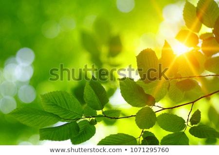 Leaf in the sun light Stock photo © photoblueice