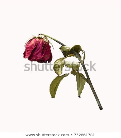 красную · розу · изолированный · высушите · красный · цветок · стекла - Сток-фото © zakaz