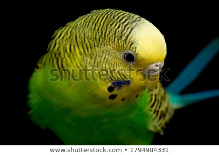 Budgie Pair Stock photo © fouroaks