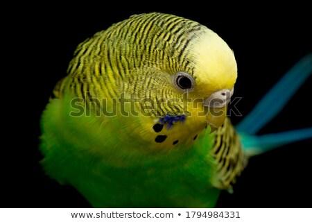 синий · волнистый · попугайчик · выстрел - Сток-фото © fouroaks