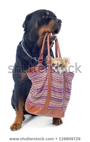 Stock fotó: Rottweiler · kutyakölyök · táska · portré · fajtiszta · fehér