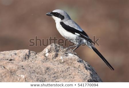Southern Grey Shrike Stock photo © chris2766