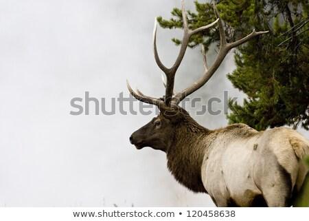 Bull Elk in the Mist Stock photo © emattil