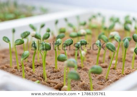 Fide fasulye yeşil tarım toprak açık havada Stok fotoğraf © phbcz