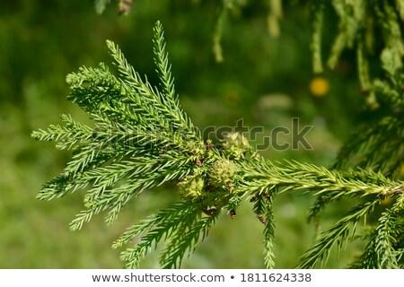 Japanese cedro alto veloce crescita evergreen Foto d'archivio © Snapshot
