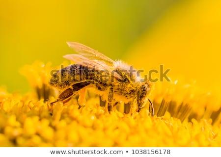 Ape polline fiore giallo cielo sole Foto d'archivio © badmanproduction